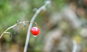 Masusta gorria (Red berry)