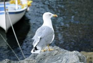 Kaioa (Seagull)