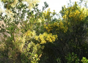 Sastrakak horian (Yellow bushes)