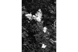 Lorea (Flower)