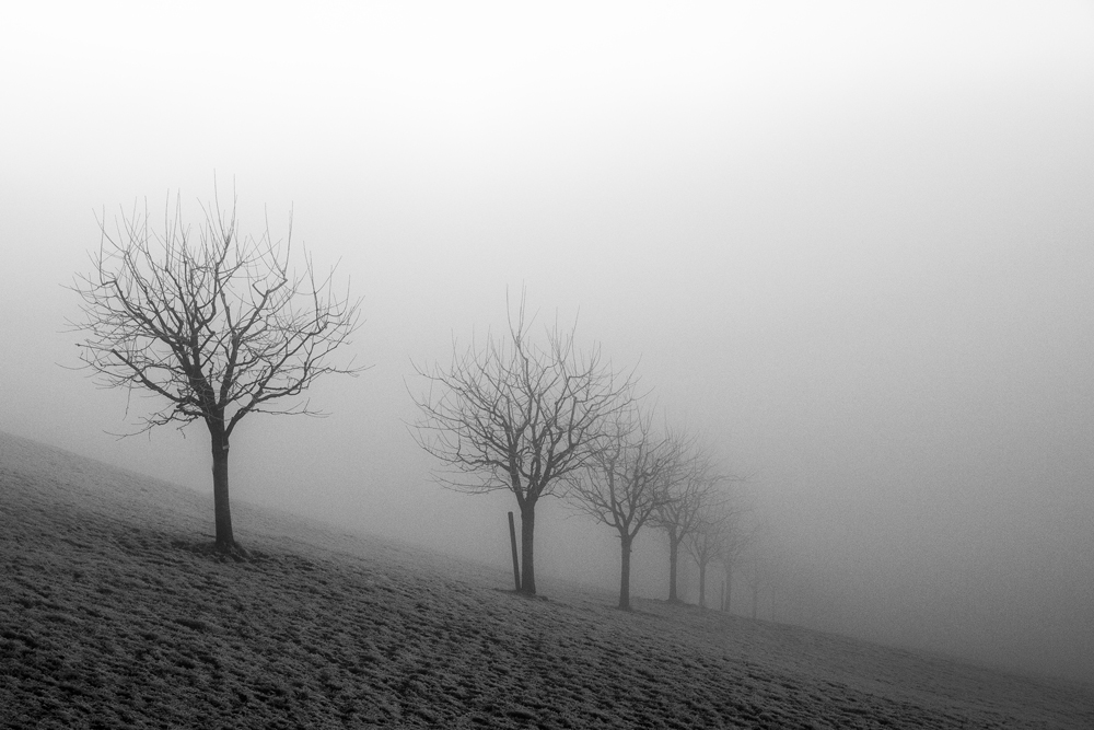 Zuhaitz ilada lanbroan galtzen (Tree row fading away in the fog)